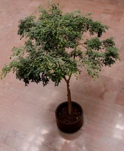 fikusträd