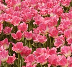 tulpaner i rosa
